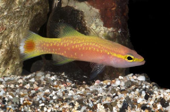 Cá Golden Basslet