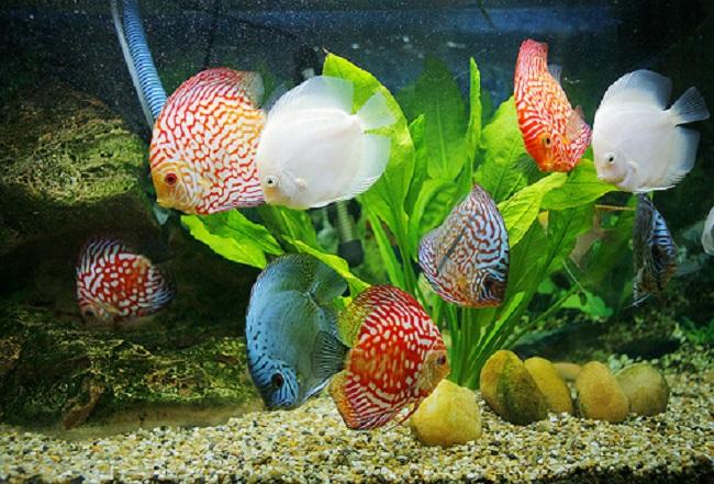 Những bệnh thường gặp ở cá cảnh và cách chữa trị