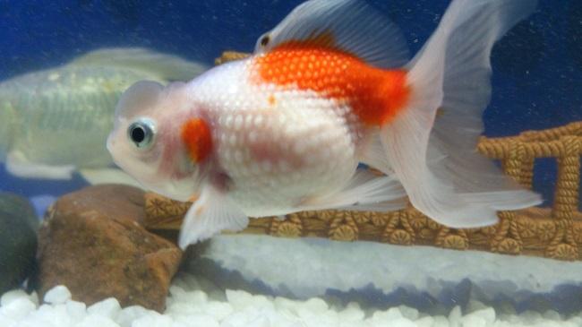 Cách chữa và phòng bệnh nấm cho cá cảnh