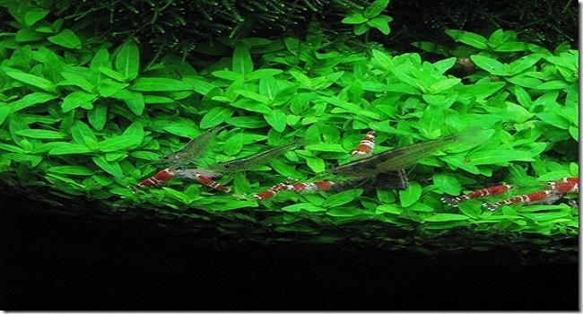 Nét độc đáo của rau thơm thủy sinh