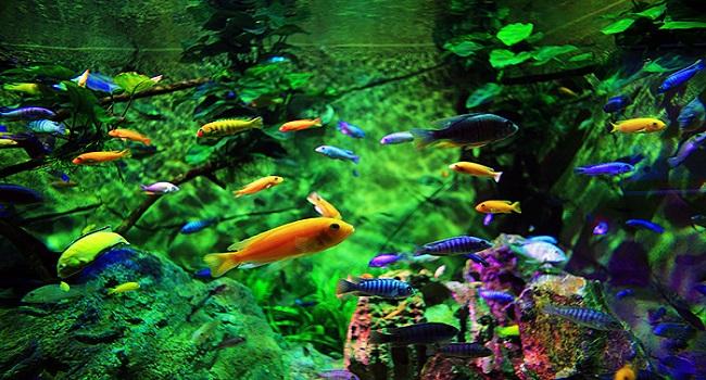 Những loại cá không cần máy sục oxy