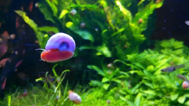 Ốc Ramshorn Snails