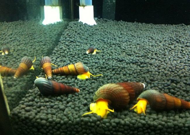 Làm sạch hồ cá bằng ốc thủy sinh