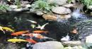 Giải pháp chăm sóc cá Koi ngày hè