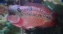 Cách chọn cá La Hán