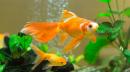 Thức ăn khô cho cá vàng