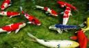 Phân biệt cá chép thường và cá chép Nhật